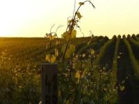 Vinohradnicka oblast Podhajska